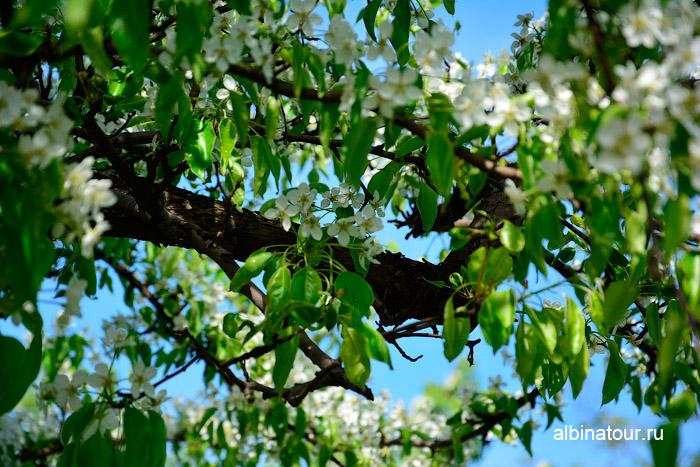 Яблоневый зад цветёт в Петербурге 18 мая 2014 г.