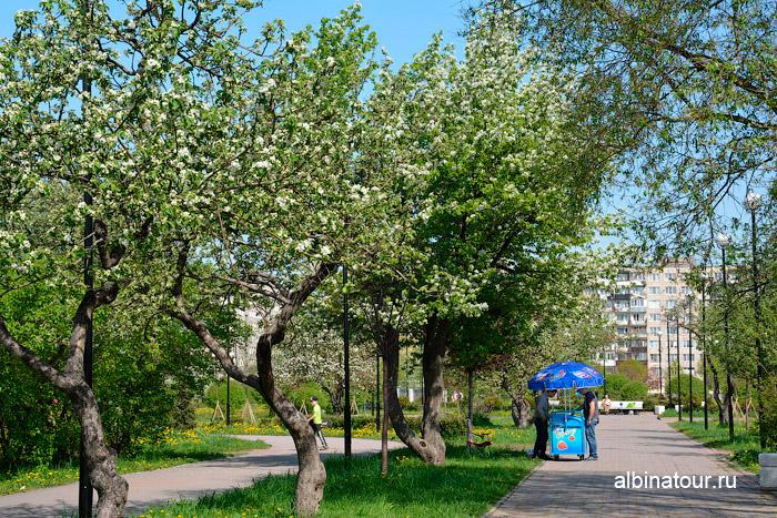 Яблоневый сад цветёт 18 мая 2014 г.