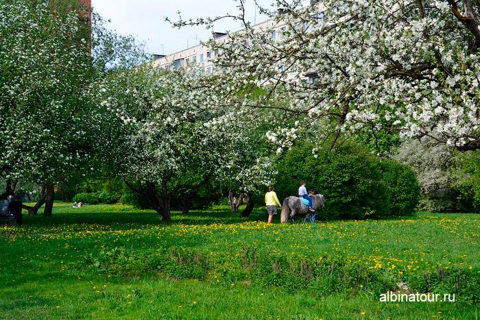 Цветение яблоневого сада 2016г. Санкт-Петербург