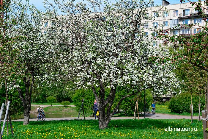 Цветение яблоневого сада 2016г.