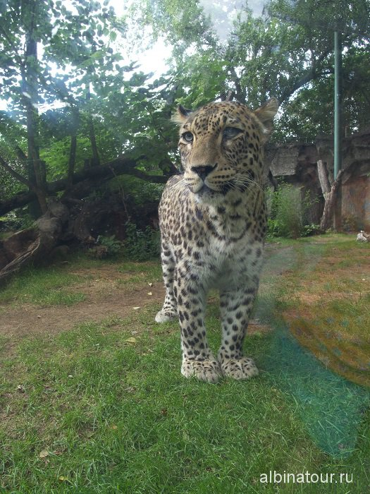 Венгрия Будапешт зоопарк леопард.