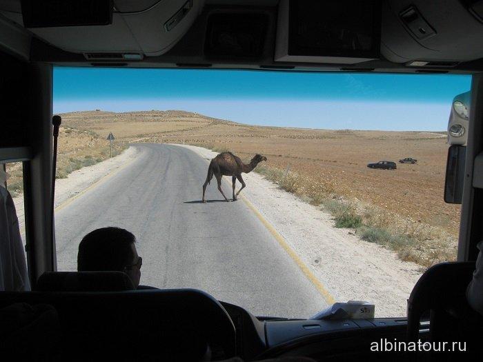 Иордания верблюд на шоссу
