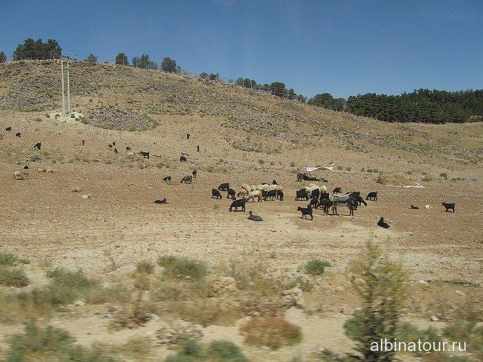 Иордания козы