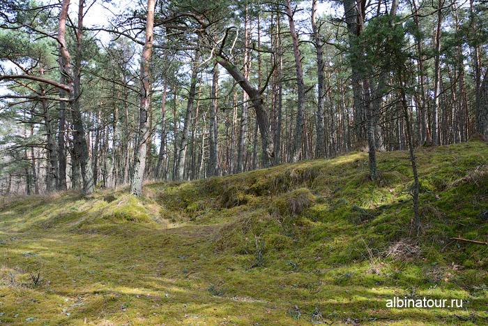 Россия Калининград Куршская коса Танцующий лес 8