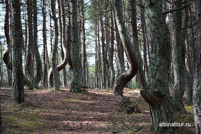 Калининград Куршская коса Танцующий лес 7