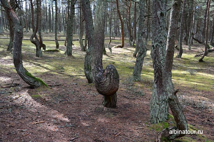 Россия Калининград Куршская коса Танцующий лес 1