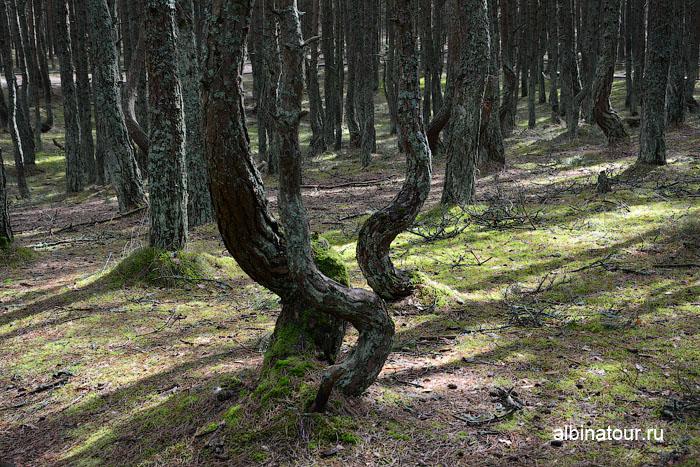 Россия Калининград Куршская коса Танцующий лес