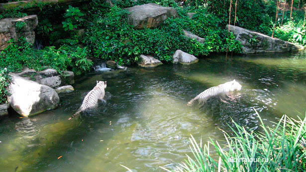 Сингапур зоопарк львы