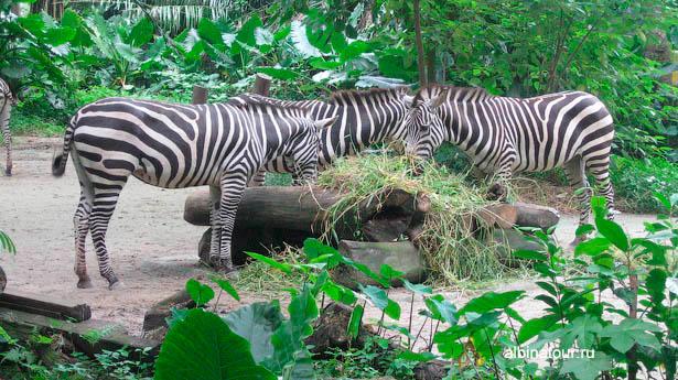 Сингапур зоопарк зебры