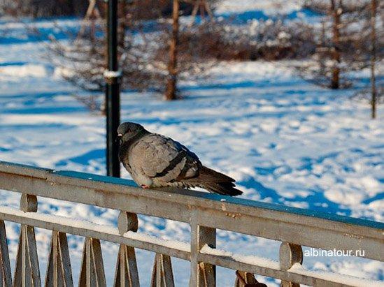 Одинокий голубь в яблоневом саду Купчино