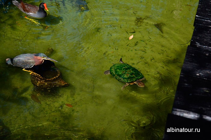 Птицы и черепаха на пруду отеля Canoe