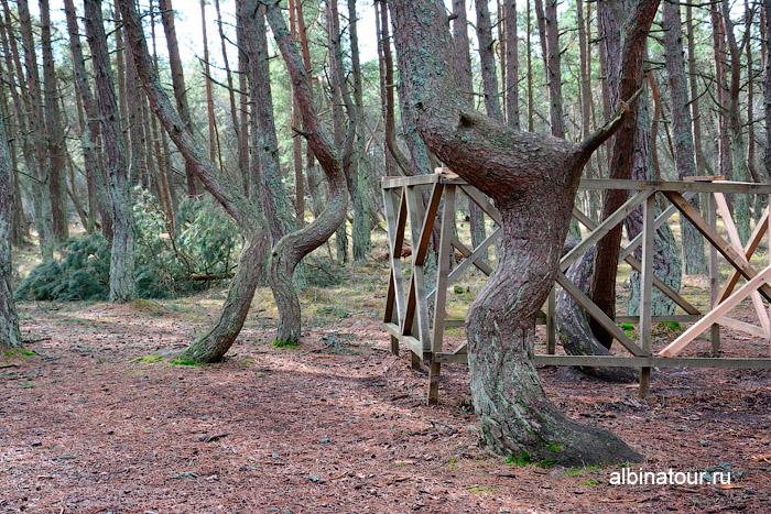 Калининград Куршская коса Танцующий лес фото