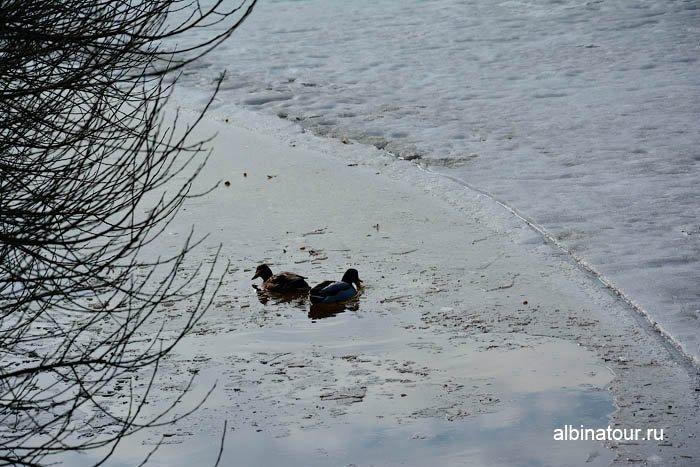 Фото Утки купались в пруду в Яблоневом саду