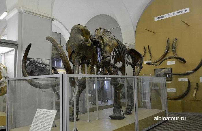Фото скелет Ленского мамонта в музеи СПб