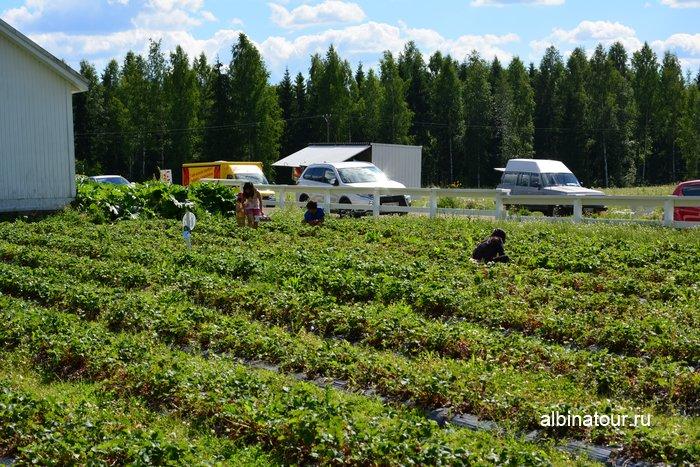 Фото семейный сбор клубники в Финляндии