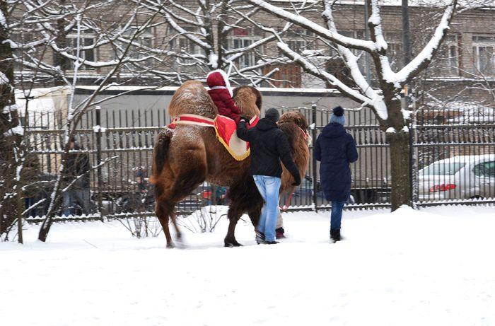 Можно покататься на верблюде в парке Бабушкина Санкт Петербург