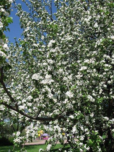 Цветущая яблоня Яблоневый сад