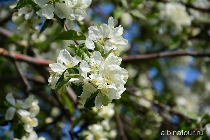 Петербург яблоневый сад цветение