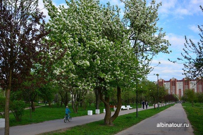 Фото май 2017 г. деревья зацвели в яблоневом саду СПб