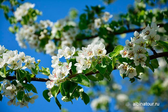 Яблоневый сад ветка на 9 мая 2016