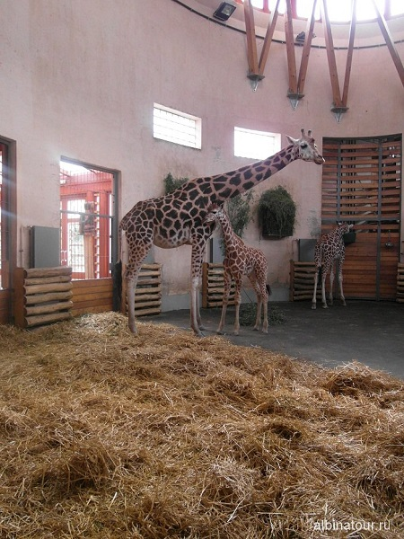 Будапешт зоопарк жирафы Венгрия