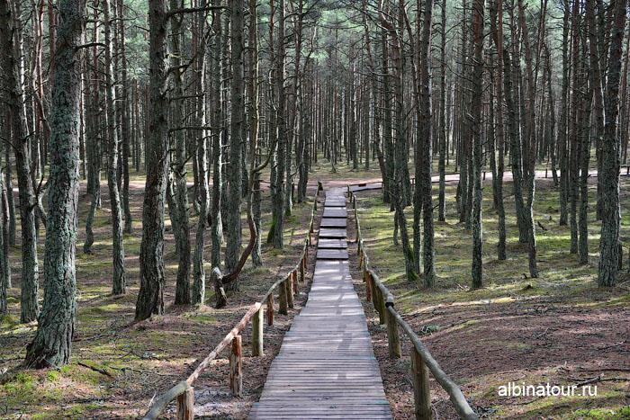 Россия Калининград Куршская коса Танцующий лес 2