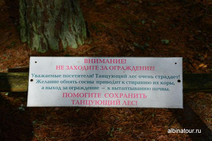 Россия Калининград Куршская коса Танцующий лес 3