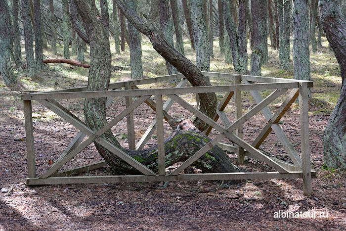 Россия Калининград Куршская коса Танцующий лес 4