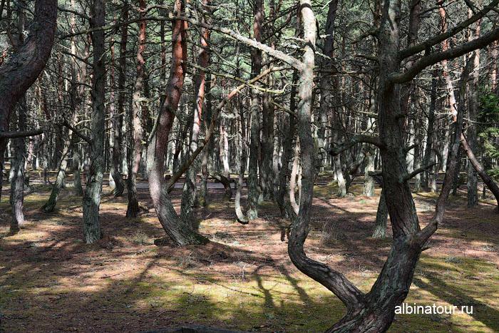 Россия Калининград Куршская коса Танцующий лес 5