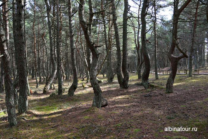Россия Калининград Куршская коса Танцующий лес 7