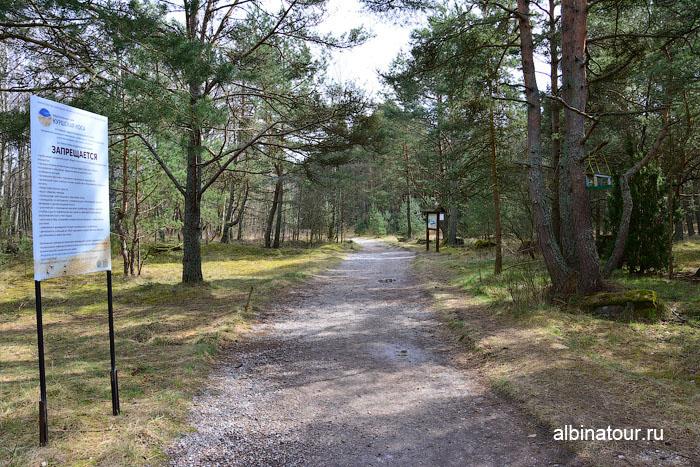Калининград Куршская коса Танцующий лес 3