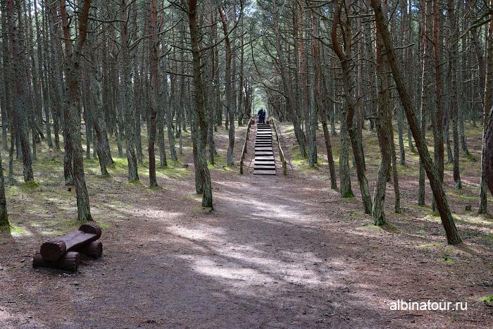 Калининград Куршская коса Танцующий лес 4