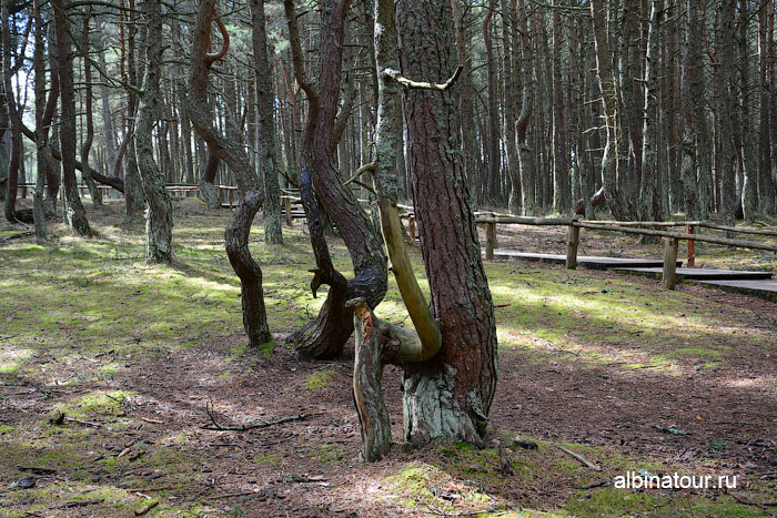 Калининград Куршская коса Танцующий лес 6
