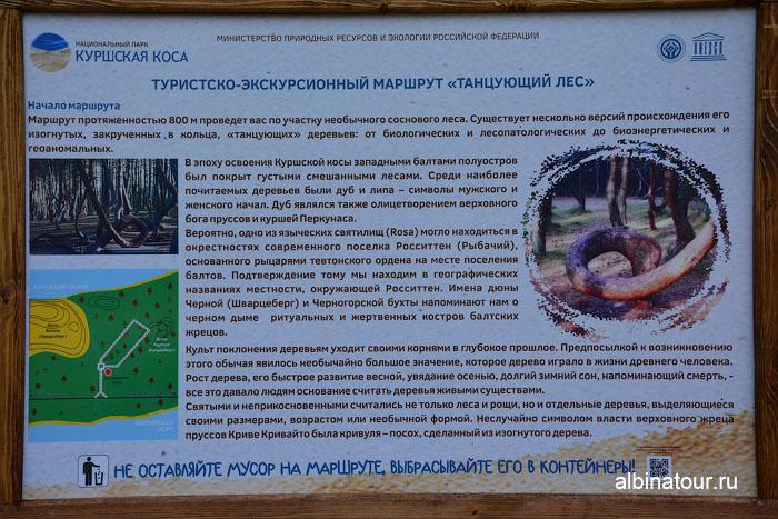 Калининград Куршская коса Танцующий лес