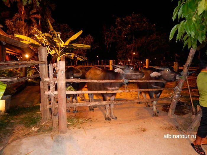 Фото буйволы Тайской деревни на шоу Сиам Нирамит Пхукет