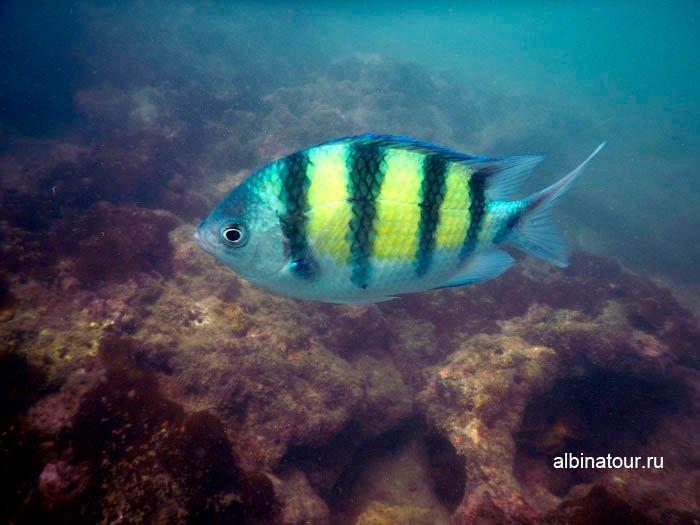 Фото Рыба сержант в Андаманском море Таиланд