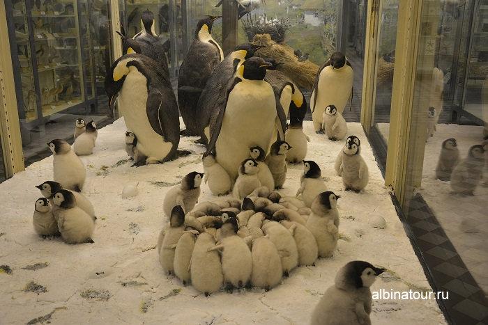 Фото пингвинов в Зоологическом музее в Санкт Петербурге