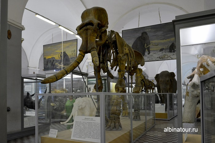 Южный слон в музеи фото