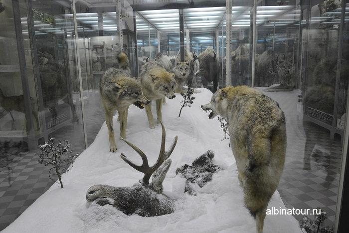 Фото волков зимой в Зоологическом музее в СПб