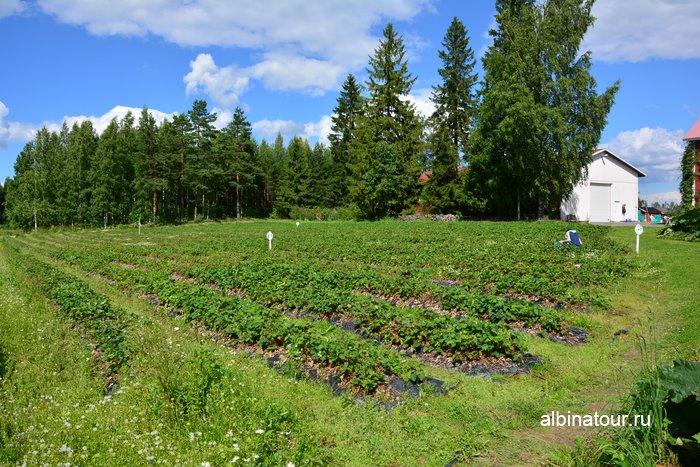 Фото поля для сбора клубники в Финляндии самостоятельно